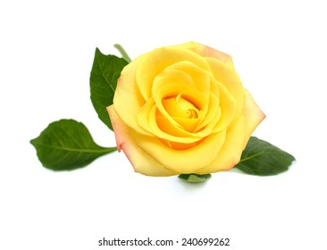 Single Rose and leaves isolated on white background