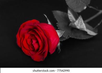 Single rose on the black background