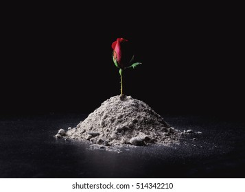 A single rose rises from a pile of ashes.