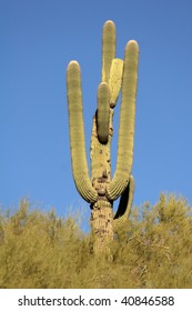 A Single Saguaro Cactus surrounded by desert brush in the lower part of the cactus, with sky as a background.