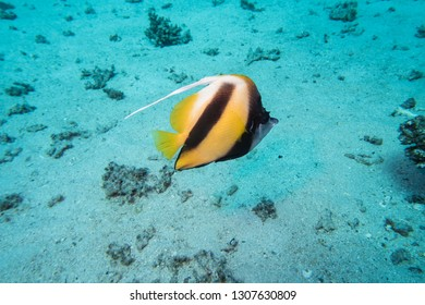 A single Schooling bannerfish or false Moorish Idol (Heniochus diphreutes) swimming across the sandy sea bed of the Red Sea in Egypt