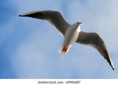 Single sea gull flying against background of blue sky (möwe)