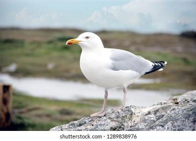 a single seagull bird sitting on a rock at the atlantic ocean, france .
