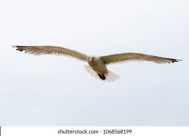 Single seagull close-up in flight with spread wings