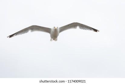 Single seagull in flight on grey sky