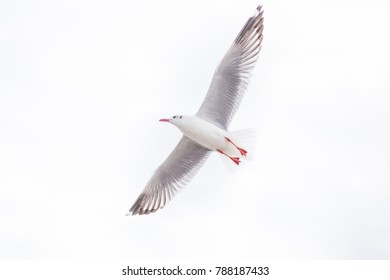 Single seagull flying on white background. It is a symbol of freedom, liberty and Justice.