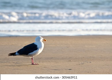 Single seagull on the beach by the ocean break looking into the setting sunset.
