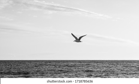 Single seagull silhouette photographed during sunrise flying over sea on a sky background.