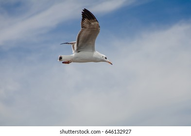 Single seagull in the sky, full of blue sky background isolated.Beautifu Seagull flying in the sky.