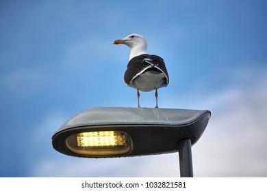 Single seagull stand on street light pole