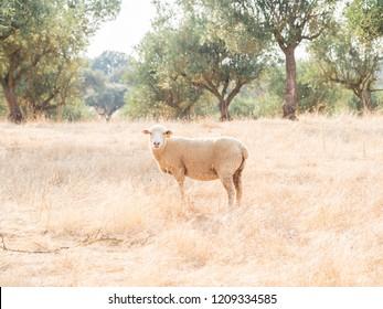 Single sheep in Alentejo region, Portugal.