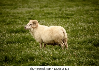 A single sheep grazing in a green grass meadow in Iceland