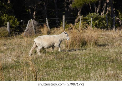 Single sheep on nature green meadow