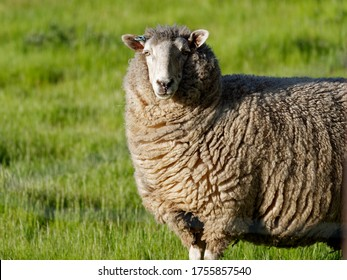 A single sheep posing for the camera with a grass background