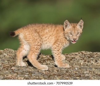 Single Siberian lynx kitten (Lynx lynx wrangeli)