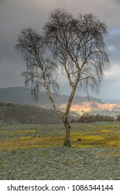 Single silver birch at Hodge Mine in the Lake District