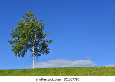Single silver birch to the left with lawn on the hill of Furano, Hokkaido, Japan