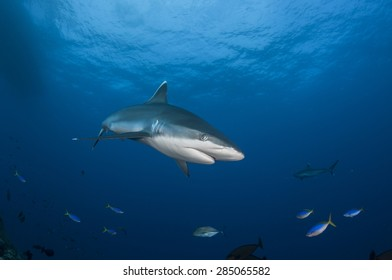 Single Silvertip Shark on Blue Background