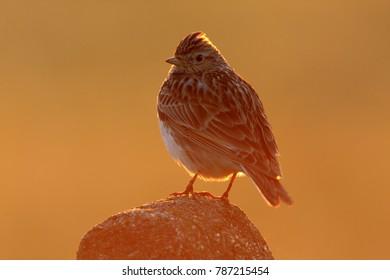 Single Skylark bird standing on a wooden stick in a field
