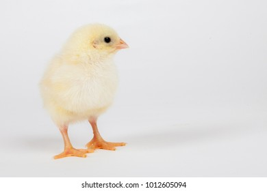 Single small yellow chick on white