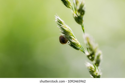 Single snail resting on the grass seeds. Full frame macro shot with brown snail in a middle and blurred green grass background. Natural morning hours sunlight