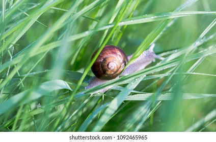 Single snail slides on the grass blade. Full frame macro shot with brown snail in a middle and green grass background