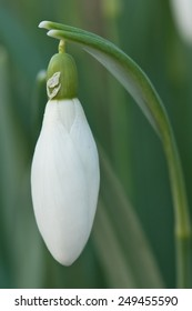 single snowdrop flower still closed as winter approaches