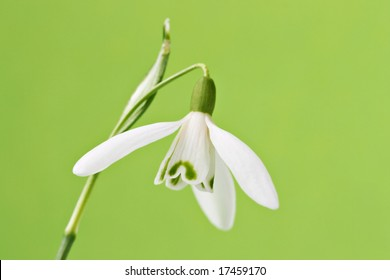 Single snowdrop with green background