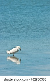 Single Snowy egret wading in calm water of a tropical beach hunting for next meal with its reflection  on the Gulf of Mexico