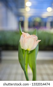 A single soft pink tulip in a garden center.