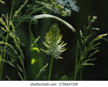 Single spike of nationally rare Spiked Rampion in East Sussex countryside.