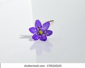 Single spring wildflower Anemone hepatica - Liverwort on white background. Beautiful violet isolated flower on white. Beautiful and delicate background