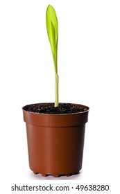Single sprout of corn in  pot