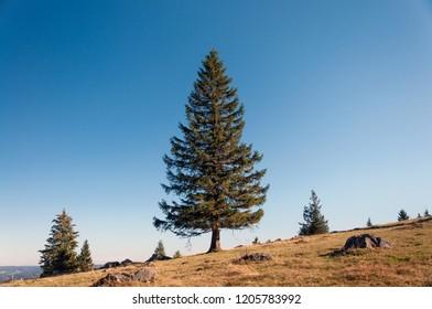 Single Spruce tree