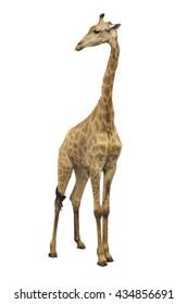 Single standing wild Giraffe isolated on white background