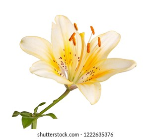 Single stem with a bright yellow flower of an Asiatic liily hybrid isolated against a white background