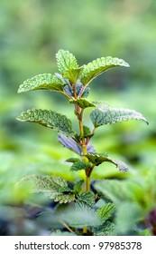 single stem and leaves of melissa officinalis or lemon balm