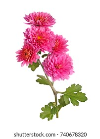 Single stem with many pink flowers of the fall chrysanthemum (Chrysanthemum indicum) isolated against a white background