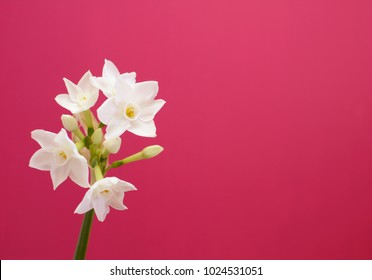 Single stem of narcissus with white flowers against pink painted background with copy space