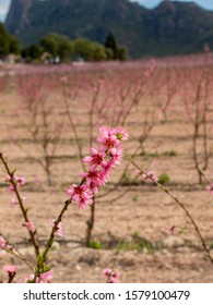 A single stem of peach blossom with vibrant pink petals is flowering early and ahead of other trees in a large fruit orchard. The shallow depth of field isolates the bloom in the foreground.