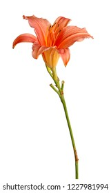 Single stem with a pink daylily flower (Hemerocallis hybrid) isolated against a white background