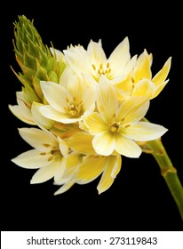 single stem of star-of-bethlehem flowers isolated on black