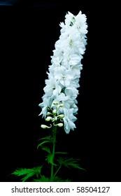Single stem of white delphinium flower on black isolating background