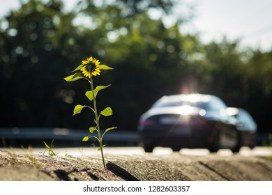 Single sun flower alone at the edge of the road with cars running