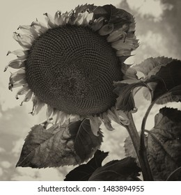 single sun flower in black and white