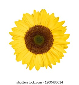 single sunflower blossom isolated