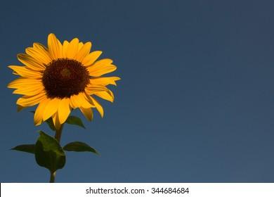 single sunflower with blue sky