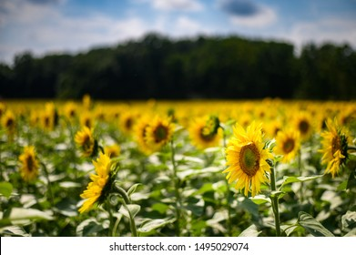 Single sunflower in focus with blurred blue sky with clouds and trees in the background