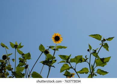 A single sunflower with foliage and blue sky background