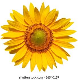 Single sunflower head isolated on white background